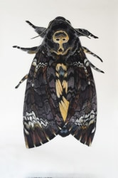 Roos Holleman, Deaths Head Hawk Moth