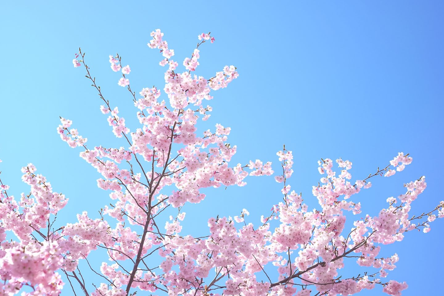 Cherry blossoms on flowering cherry tree against clear blue sky, flowers, blooming, tree, spring, beautiful, nature