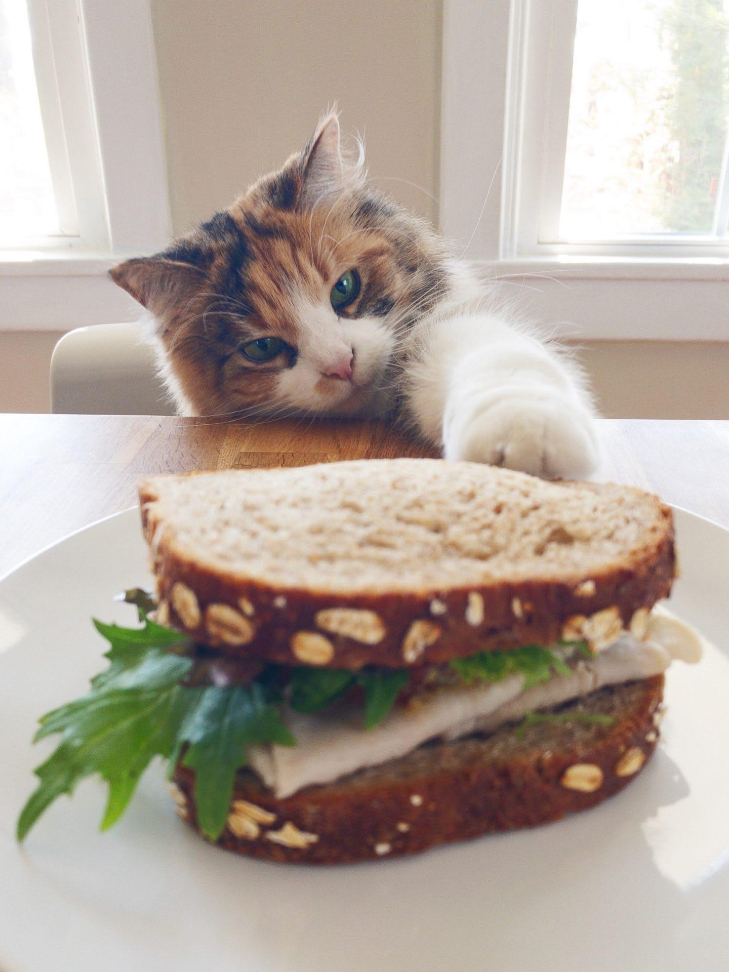 Fluffy cat touching a sandwich with paw, cute, animal, pet, kitten