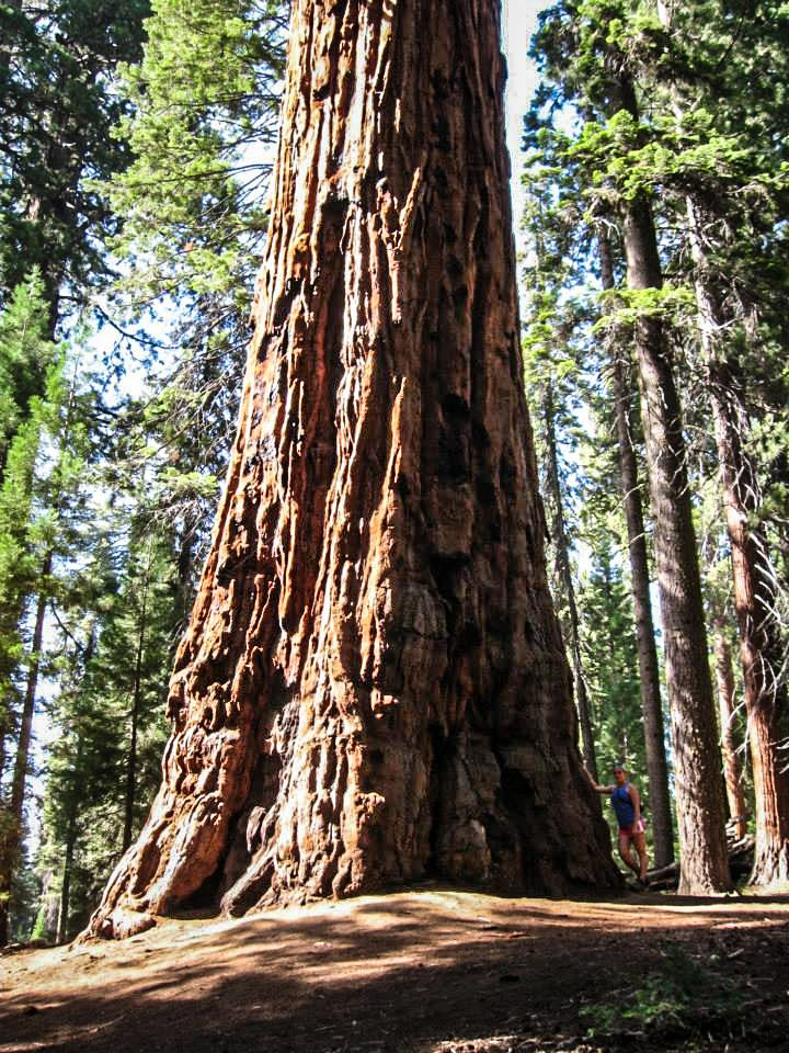 Sequoia and Kings Canyon National Parks Tree