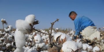 Cotton worker harvesting. Cotton plants, field, Sustainability, farm worker
