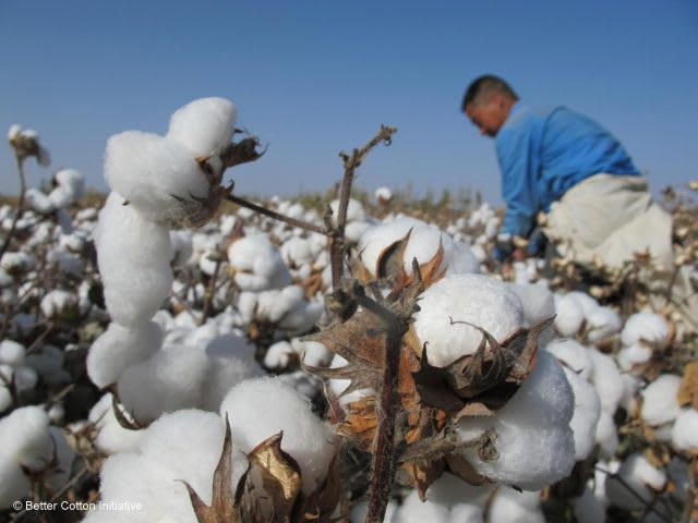 Cotton worker harvesting. Cotton plants, field, Sustainability, farm worker