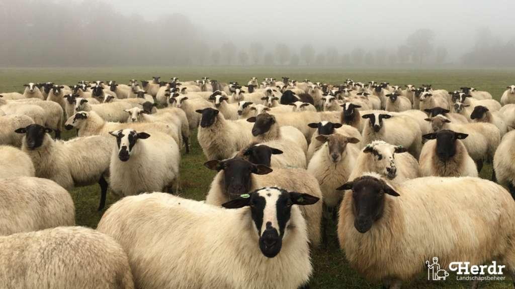 Uitstoot van schapen