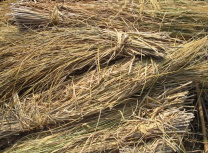 Burning rice straw is a significant contributor to Egyptian air pollution (Green/CC BY-SA 3.0)