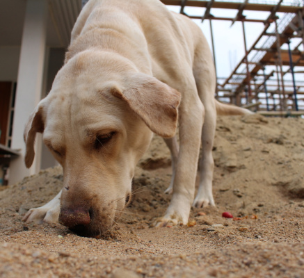 40 times faster than humans: How dogs are tackling Japanese Knotweed on building sites