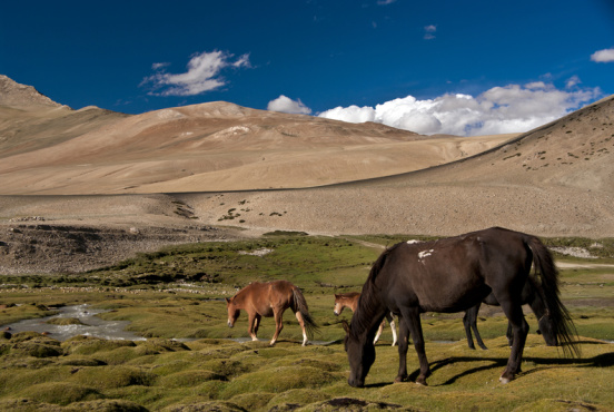 Horses graze at an altitude of 4,600m in Ladakh (Dreamstime)