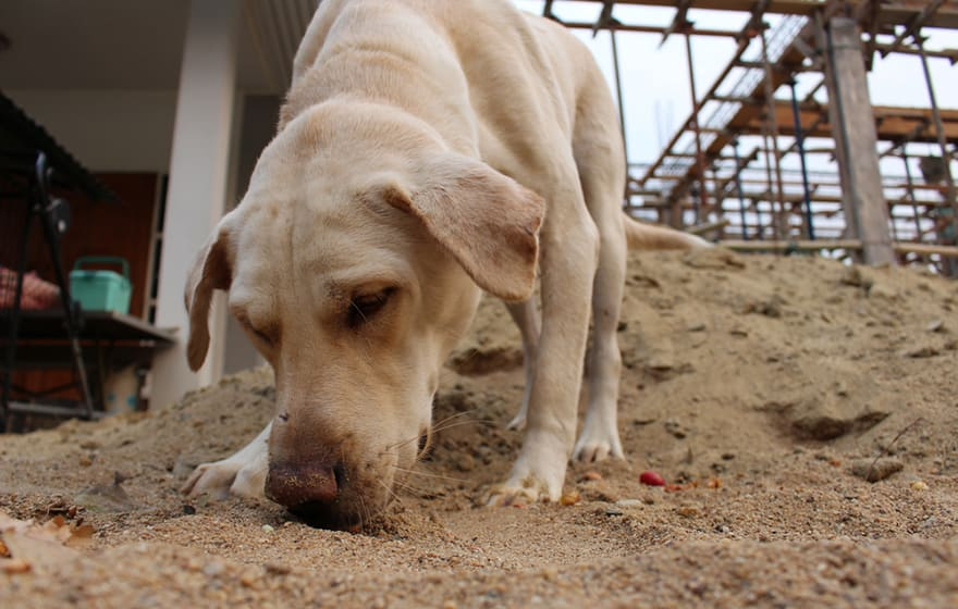 A CDI dog at work on a construction site (CDI)