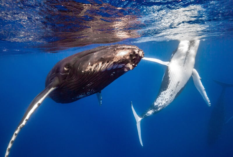 Humback Whales