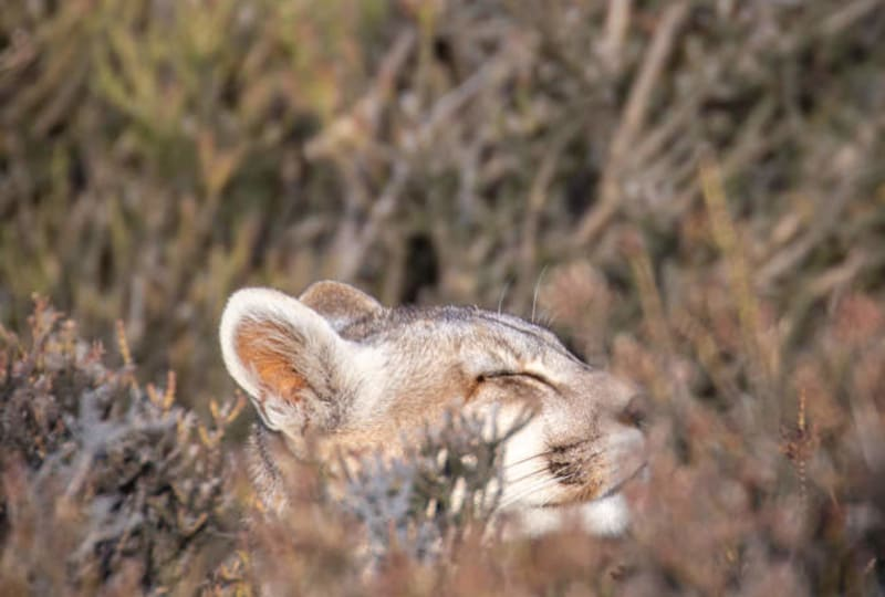 Puma Asleep in the Bush