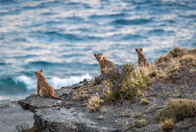 Puma Cubs Gazing