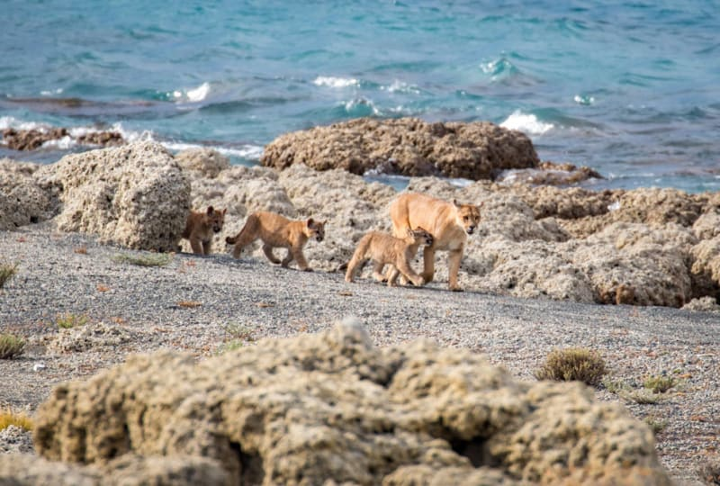 Puma Family on the Beach
