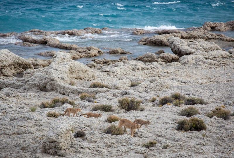 Puma Family on the Beach
