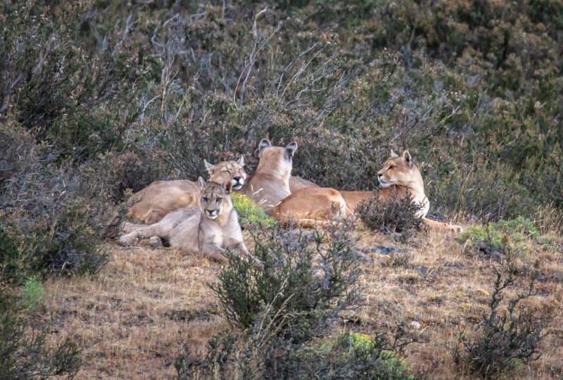 Puma Family Resting