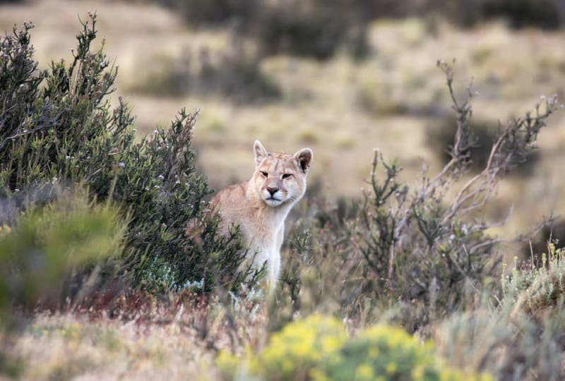 Puma Peeks