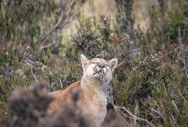Puma Scent