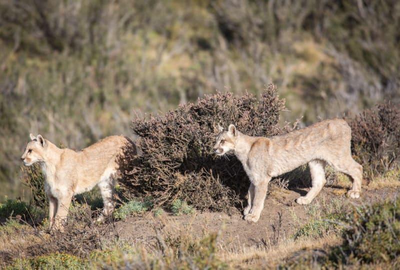 Puma Siblings