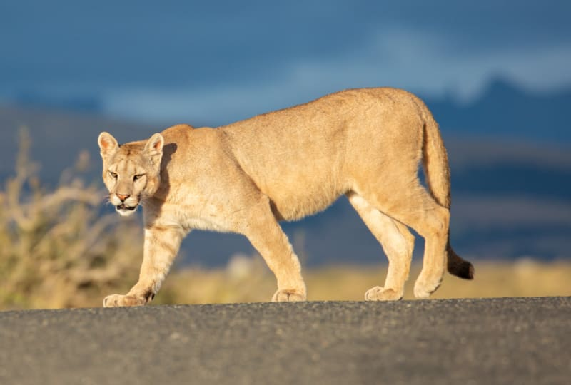Puma Crossing the Road