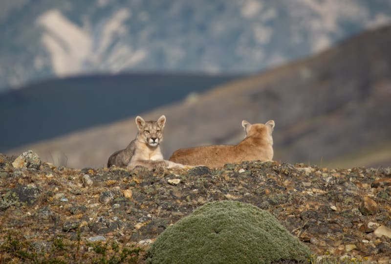 Pumas on a Hilltop