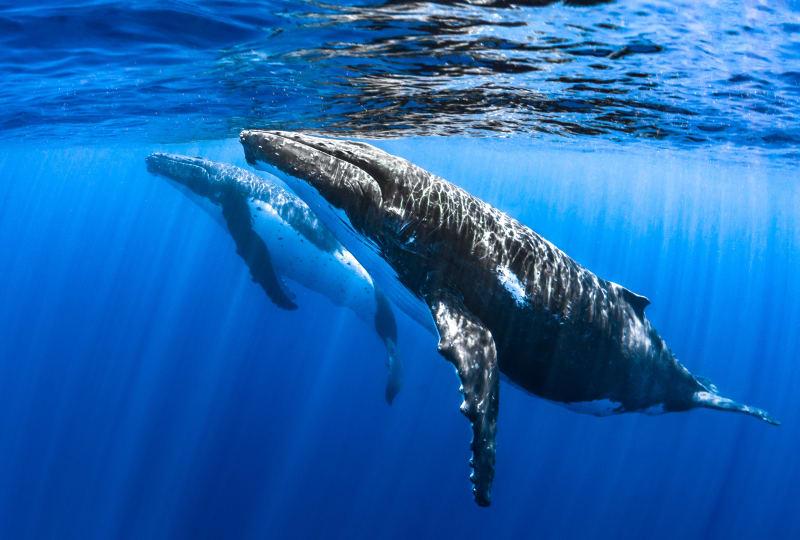 Humpbacks Surfacing