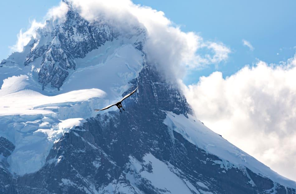 Andean Condor In-Flight