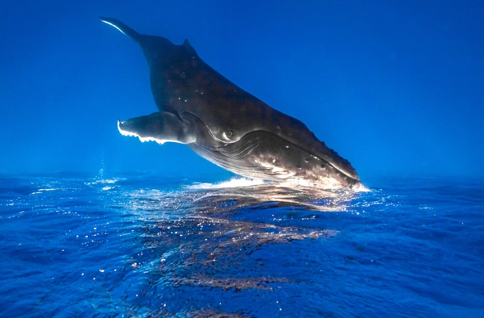 Humpback Inversion