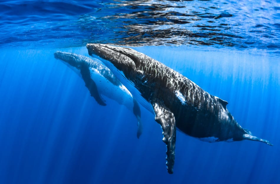 Humpbacks Surfacing
