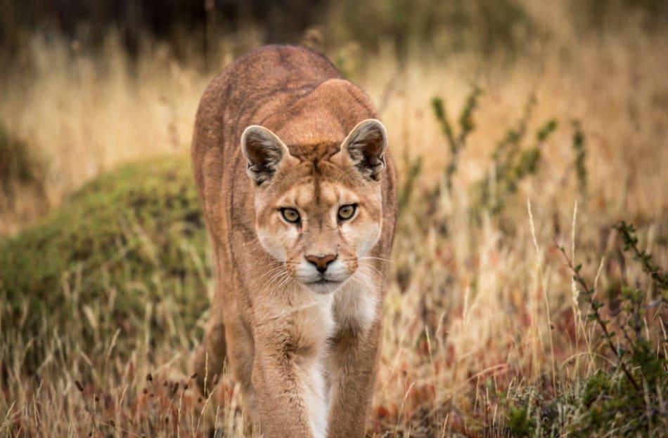 Puma approaches within a few feet.