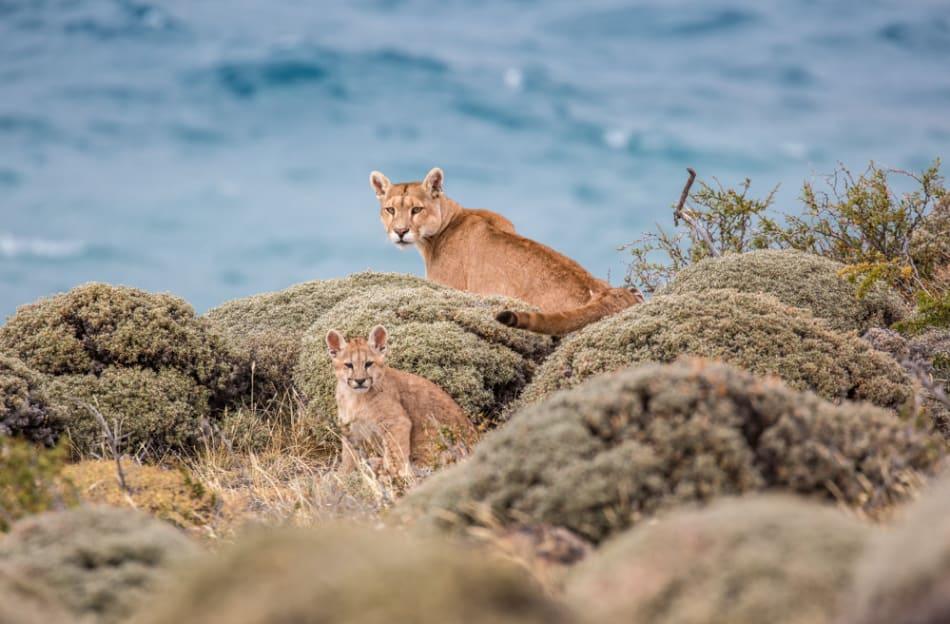 Puma mother & cub