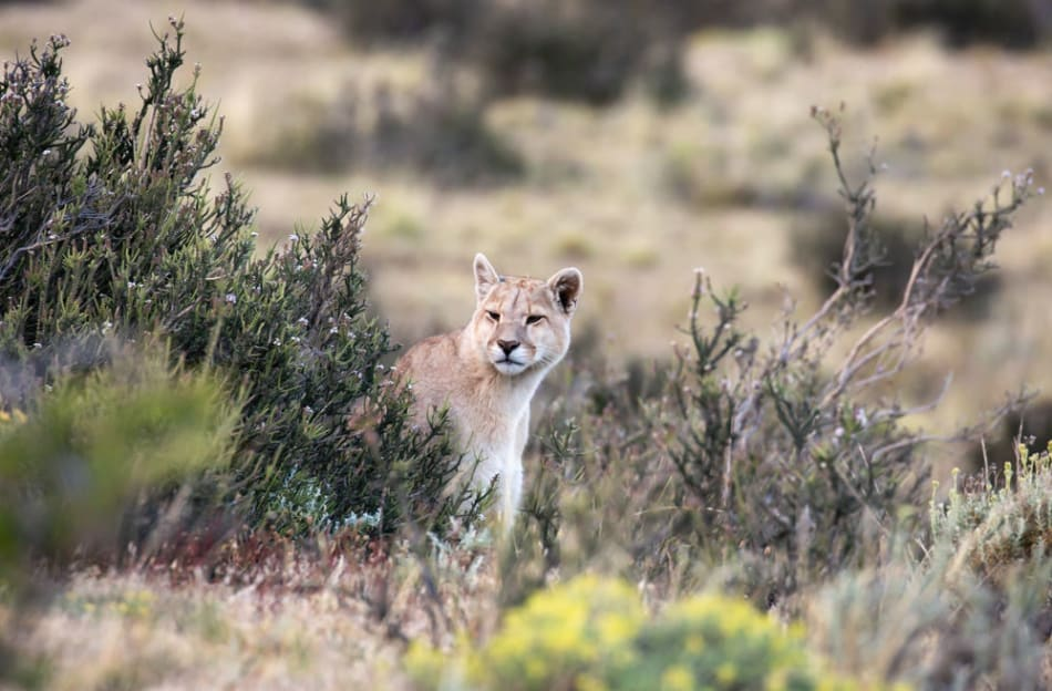 Puma peeks out from behind the bushes