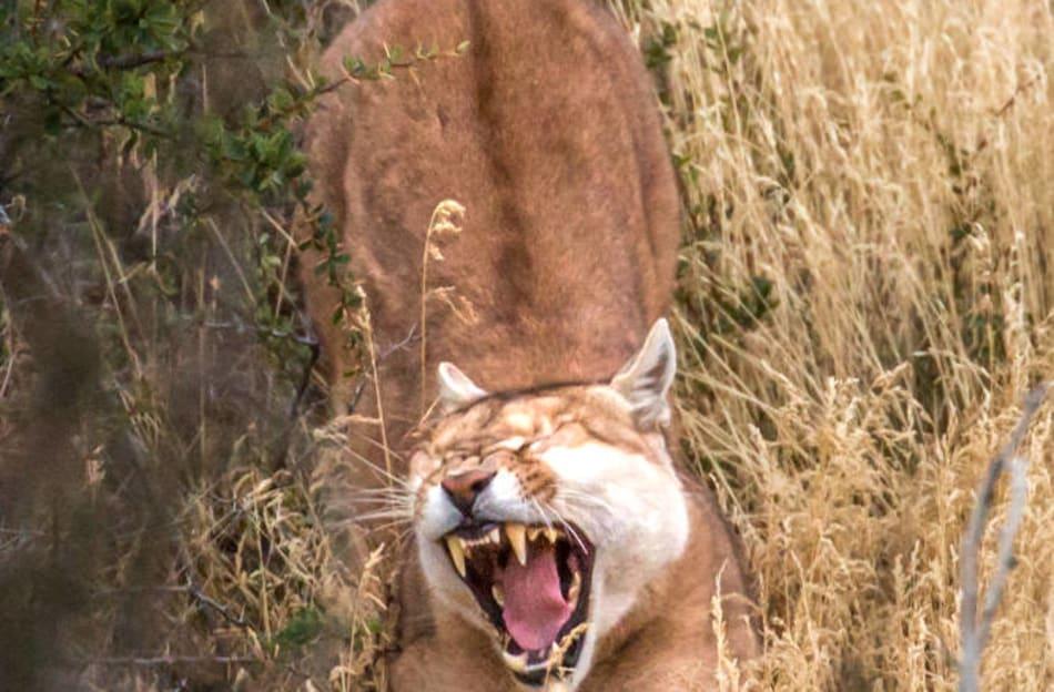 Puma stretches after a long nap.