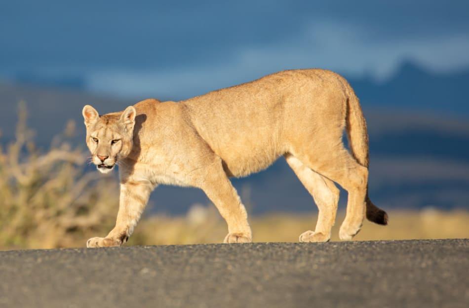 Puma crosses the road
