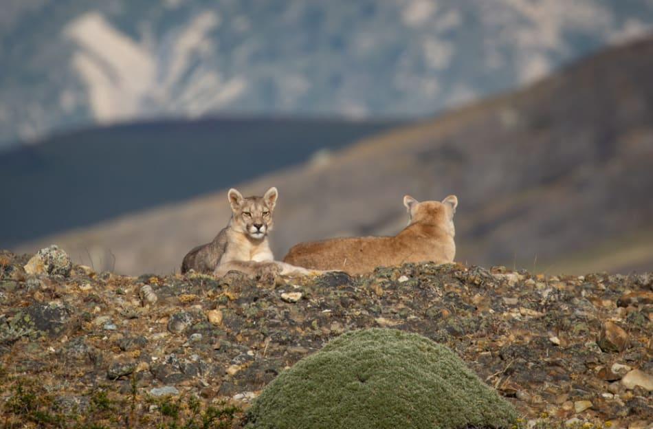 Pumas siblings sleep on a quiet hilltop
