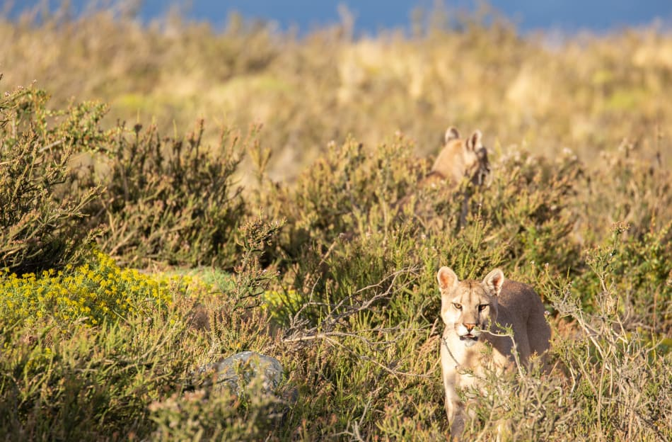 Pumas watching from the bush