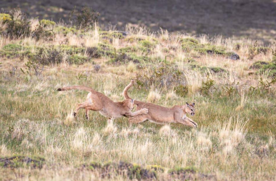 Pumas siblings play and wrestle.