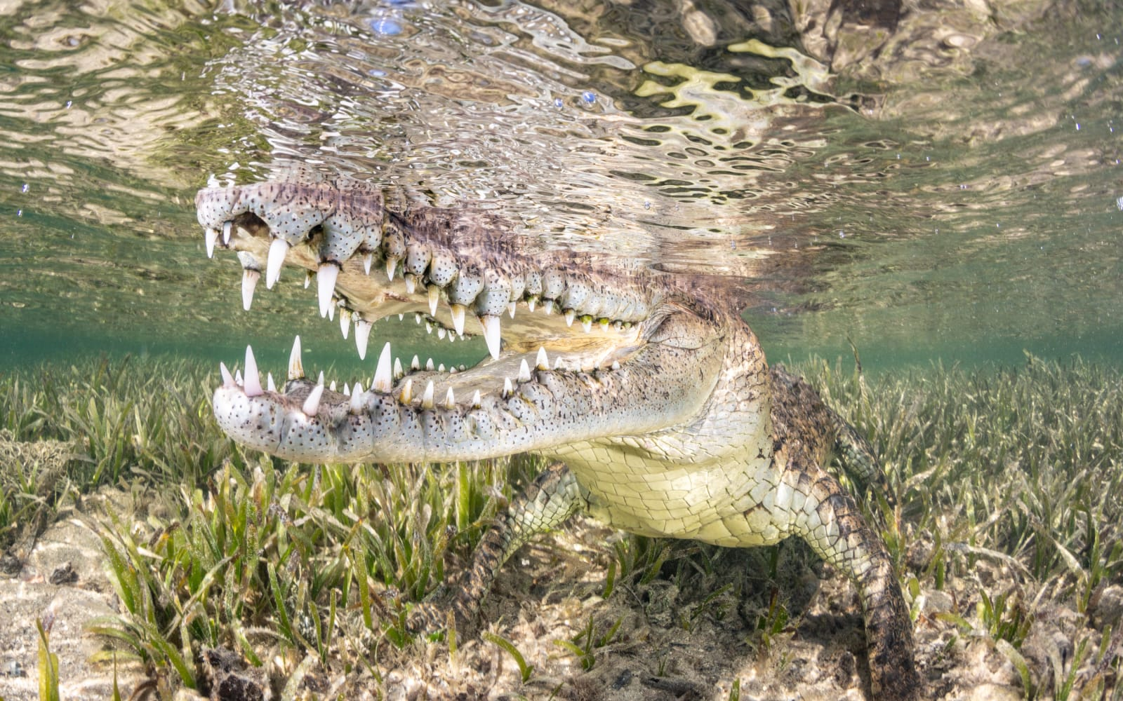 >American Crocodile