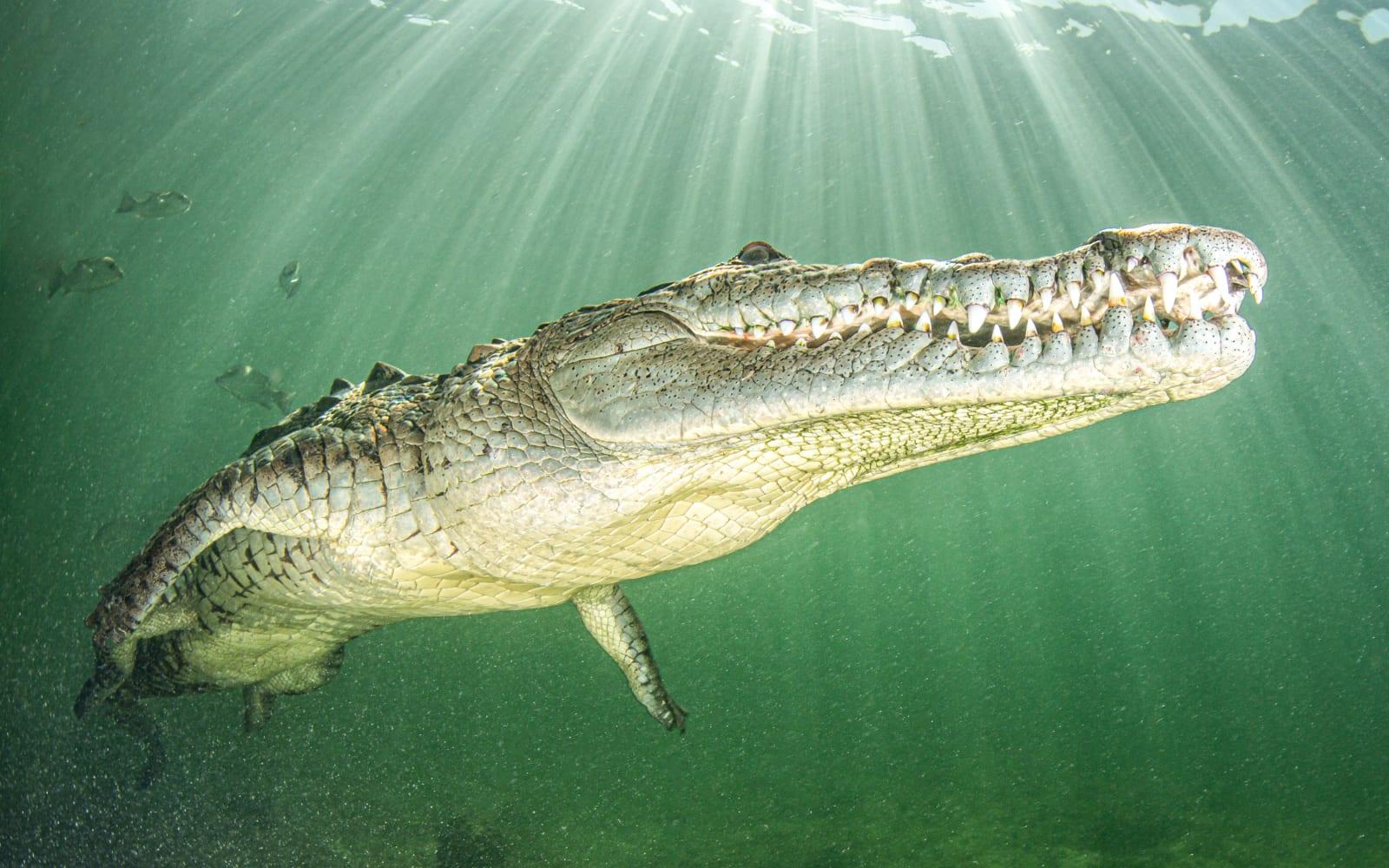 >American Crocodile Swimming