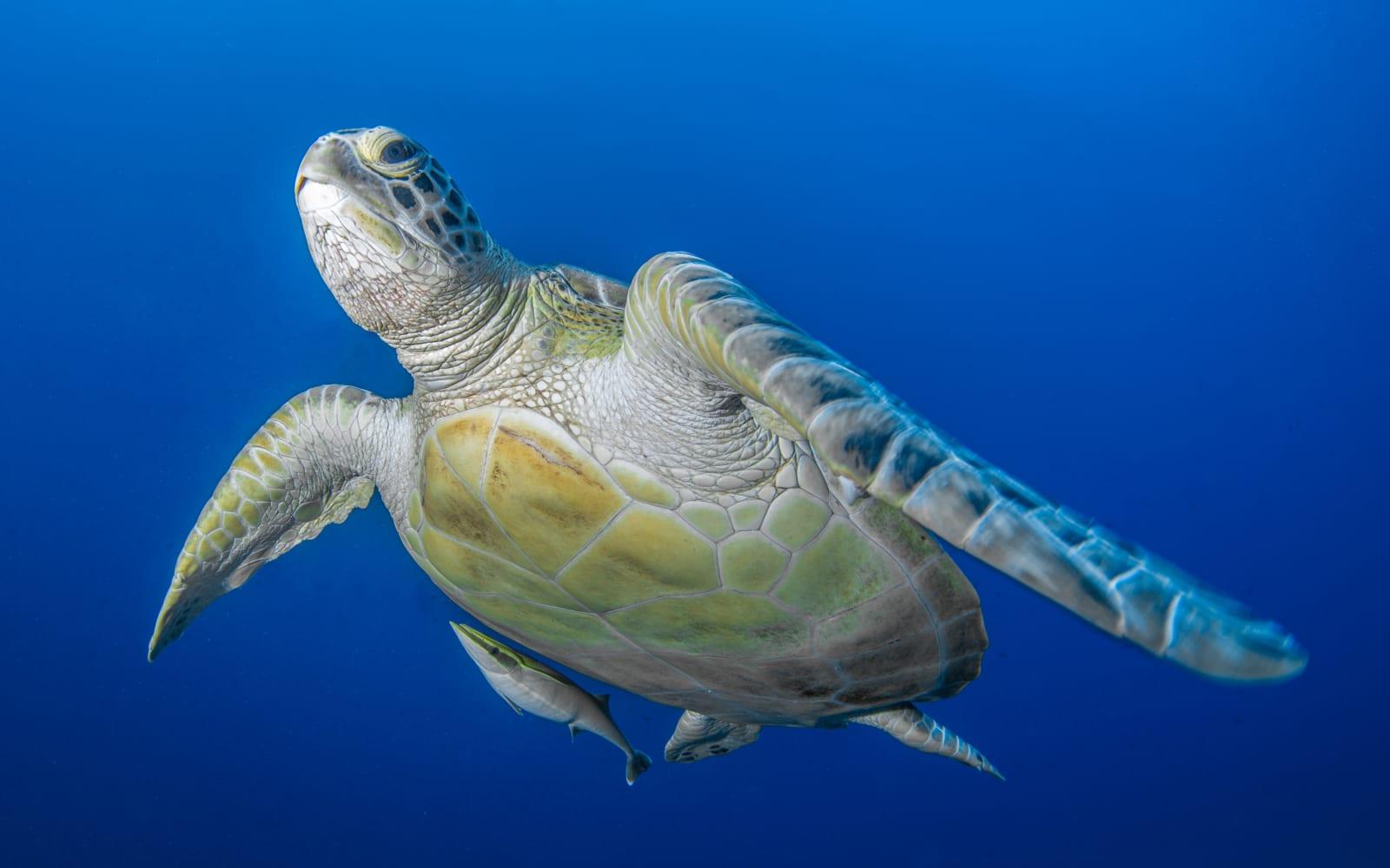 >Green Sea Turtle