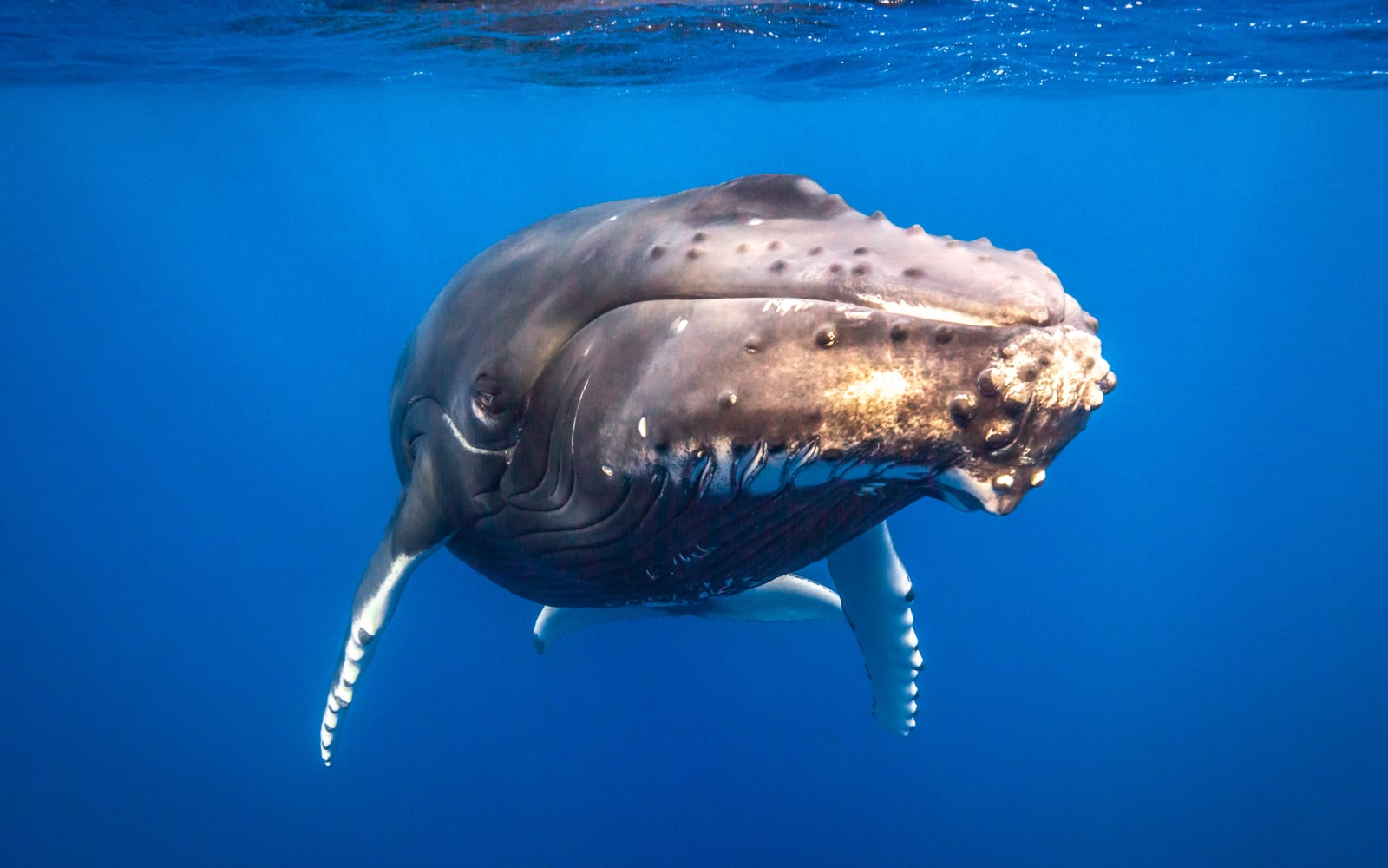 >Humpback Portrait