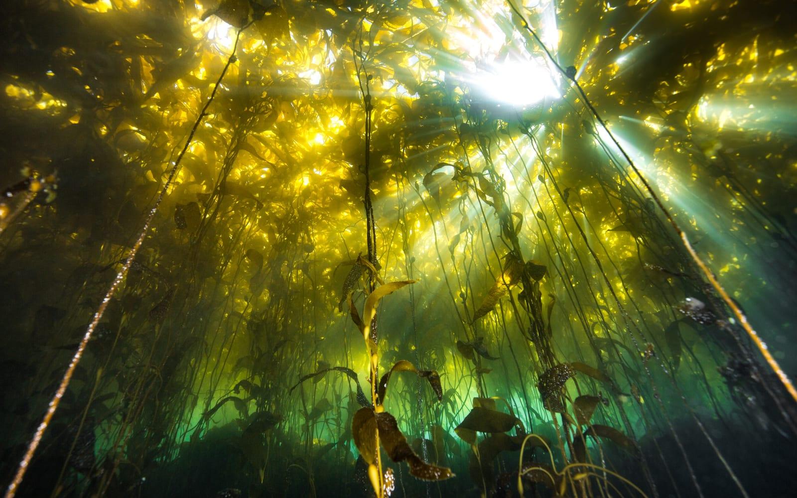 >Patagonia Kelp Forest