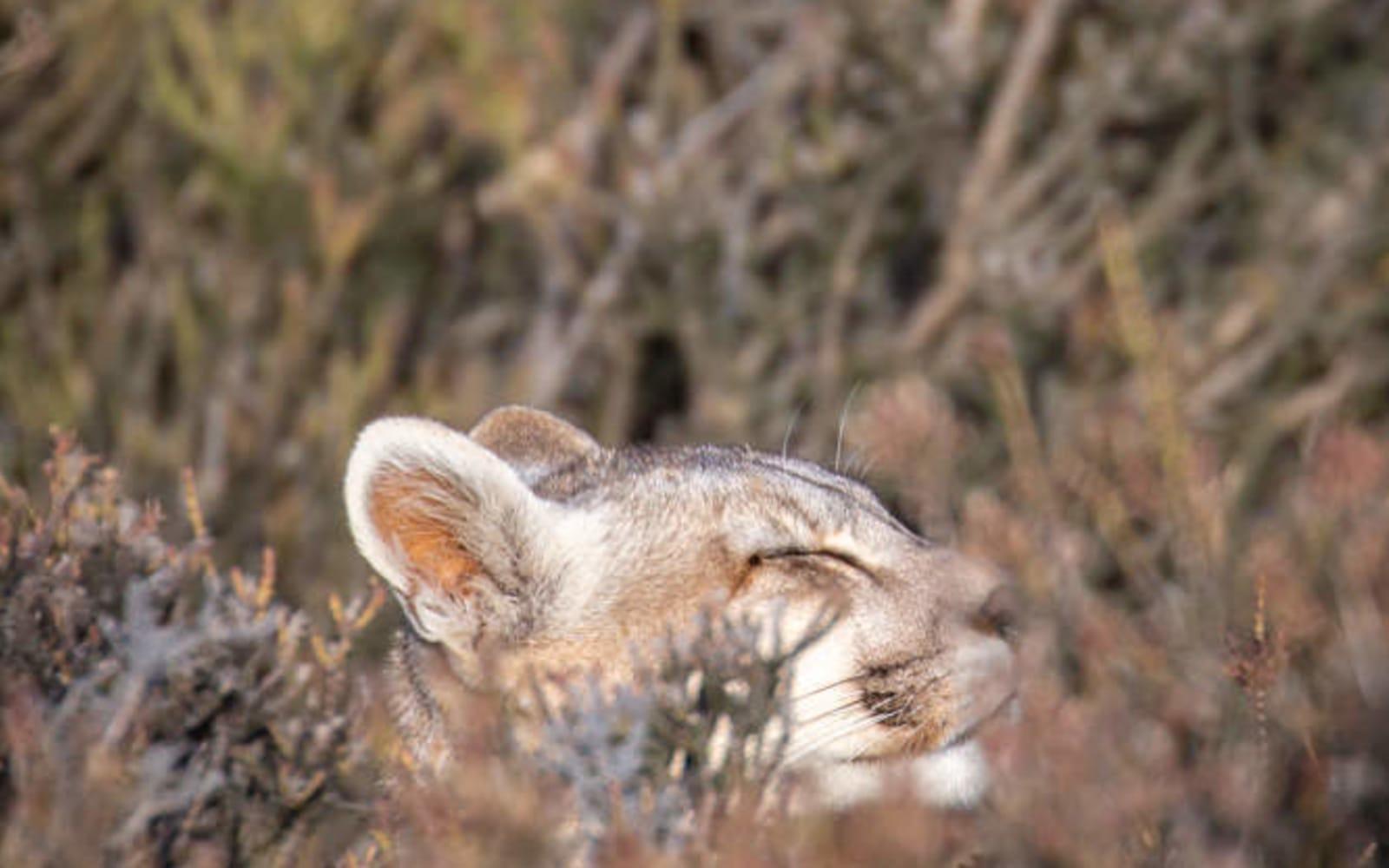>Puma Asleep in the Bush