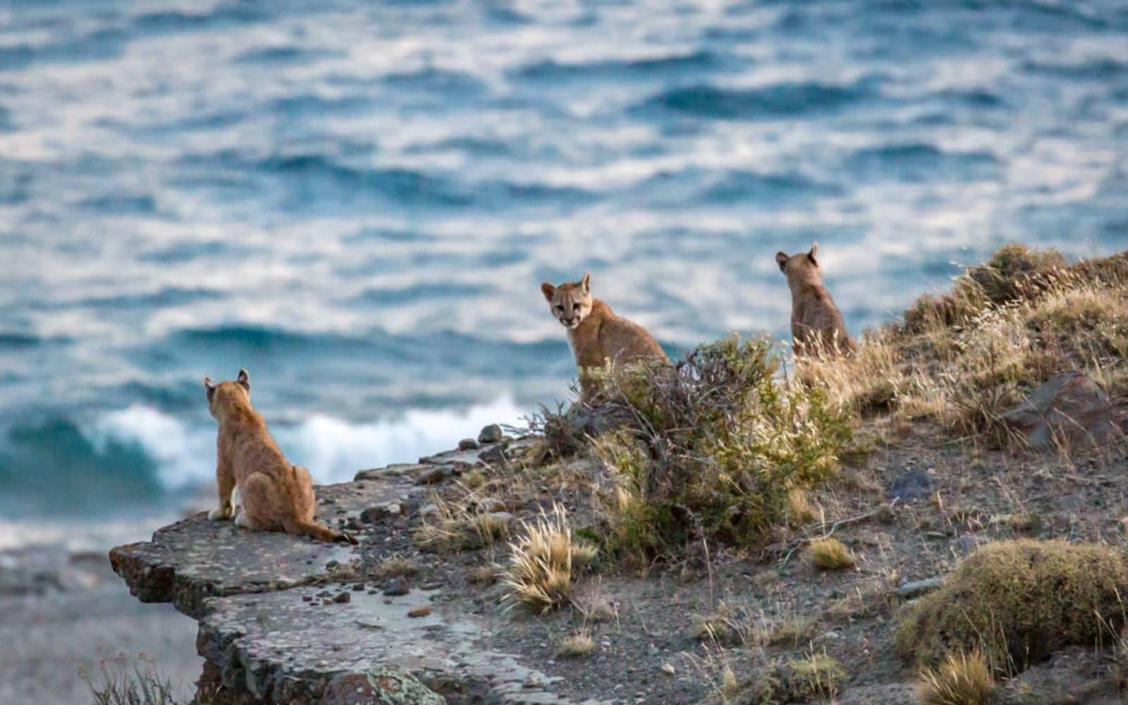 >Puma Cubs Gazing