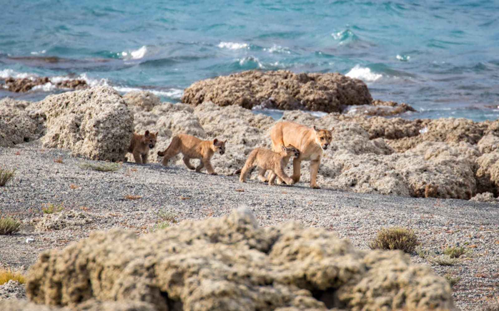 >Puma Family on the Beach