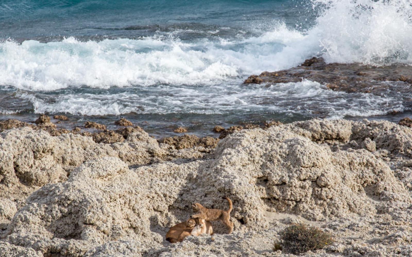 >Puma Family on the Beach