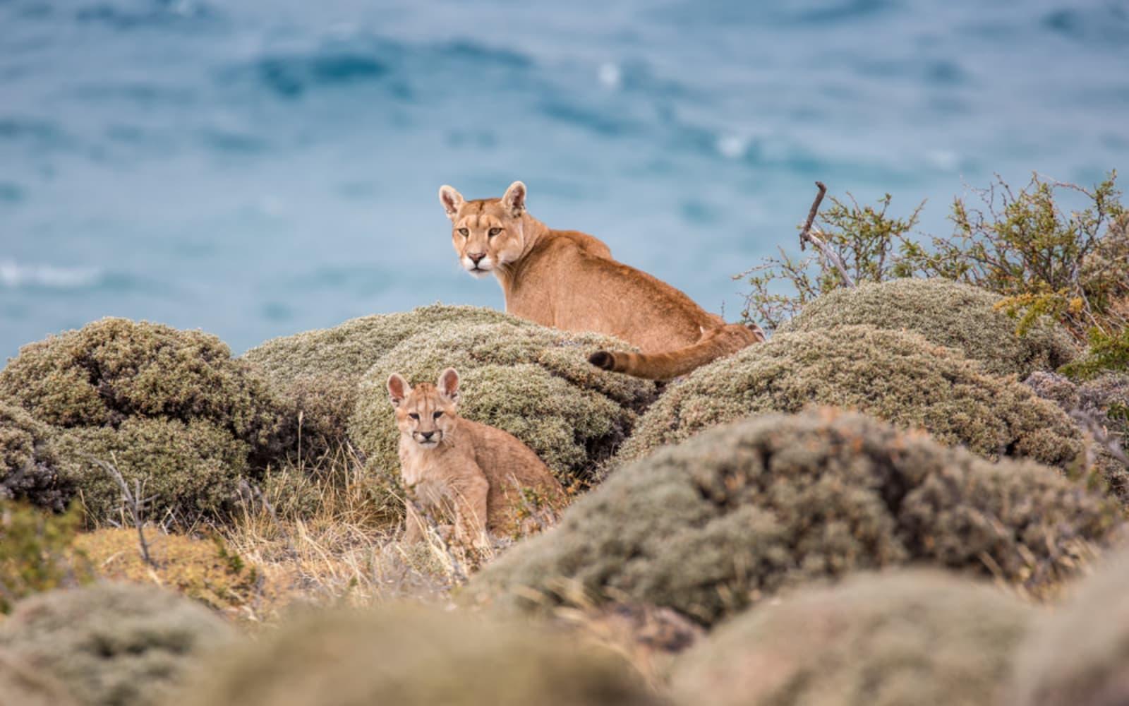 >Puma Mother & Cub
