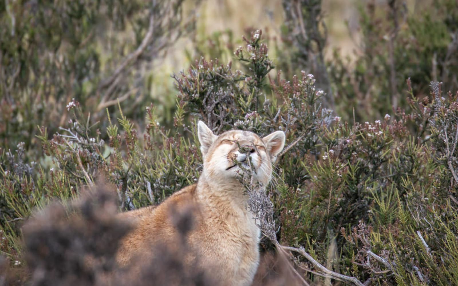 >Puma Scent