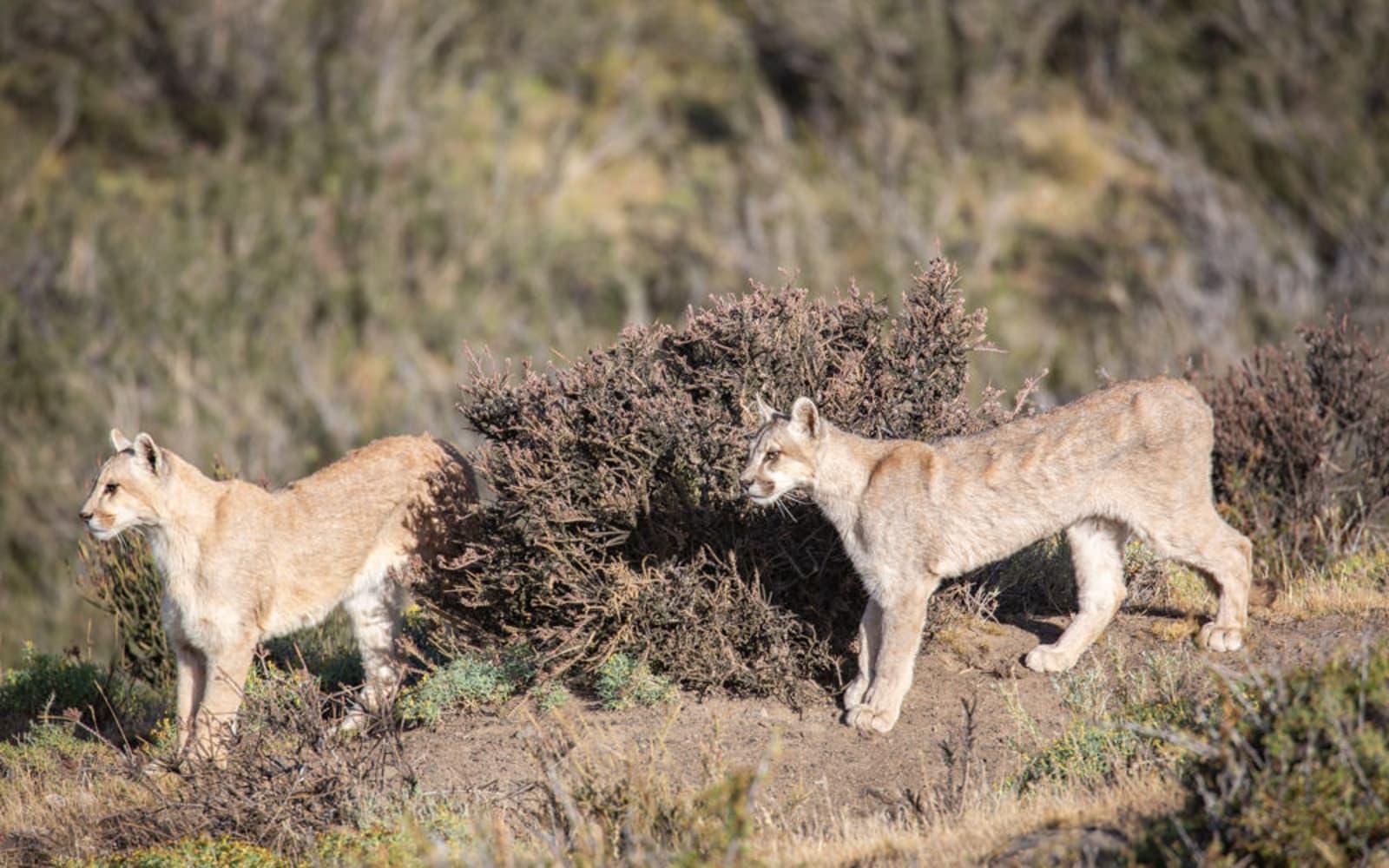 >Puma Siblings