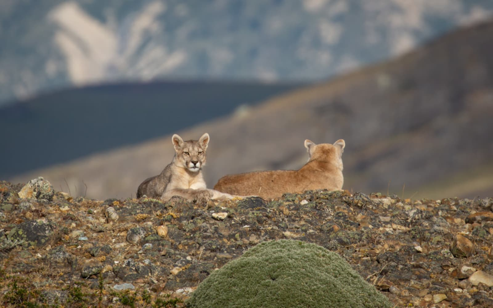 >Pumas on a Hilltop
