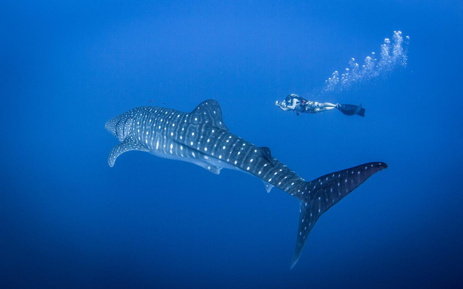 >Whale Shark
