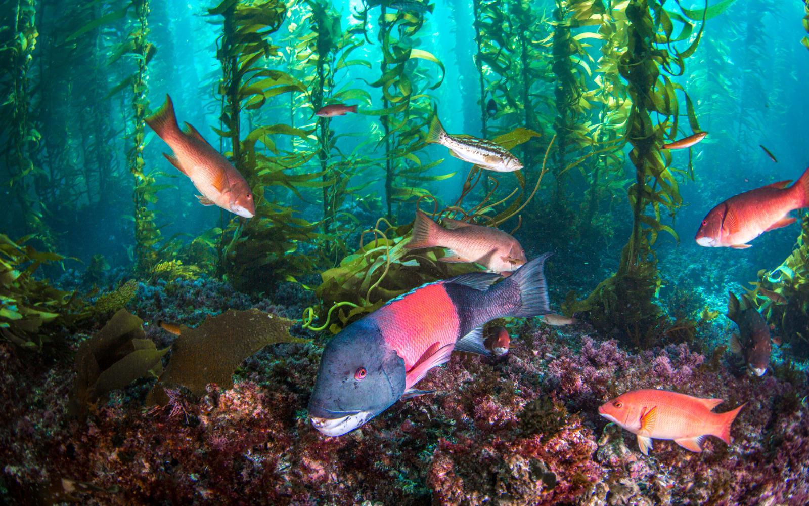 >Kelp Forest