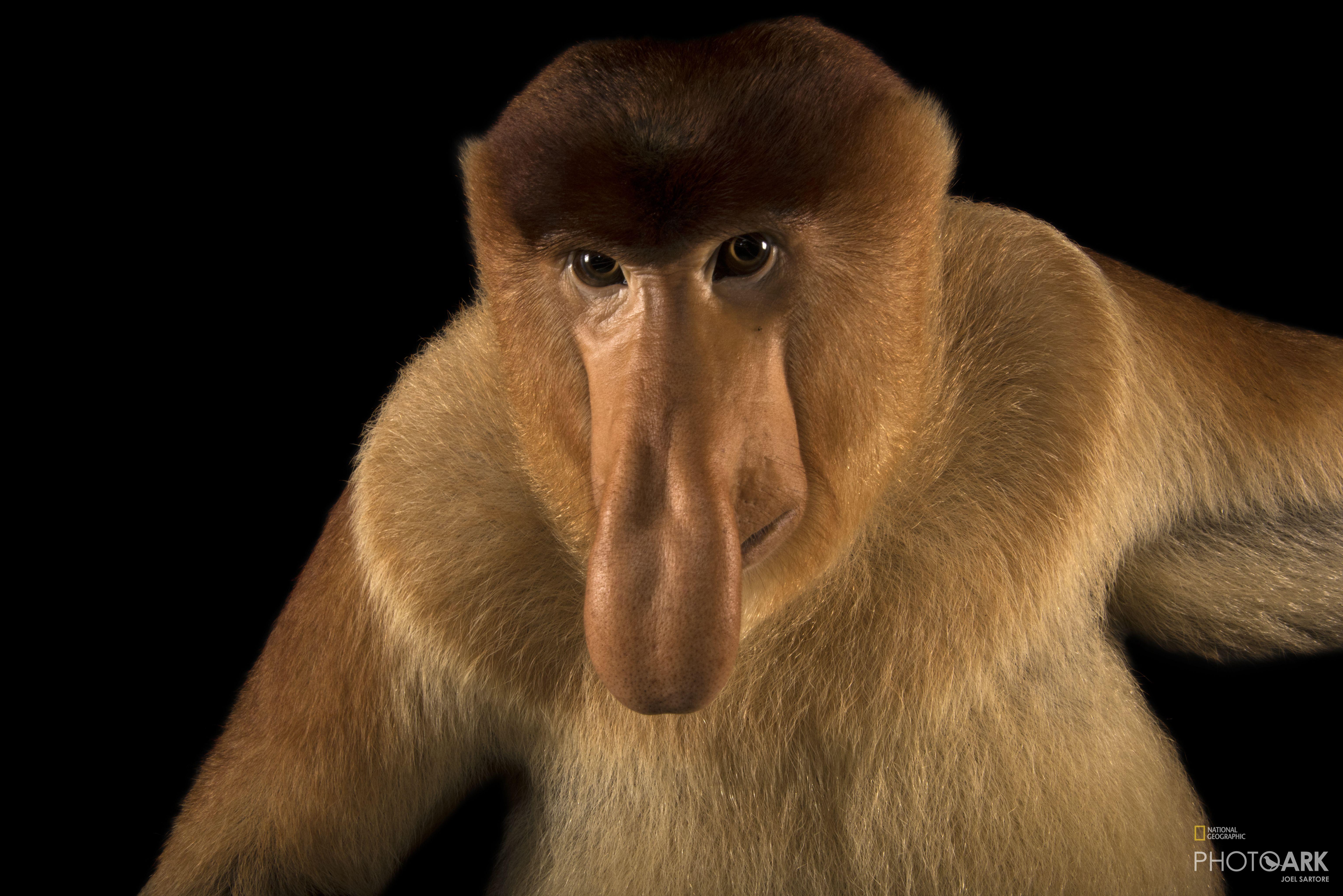 Photo Ark Home Proboscis Monkey | National Geographic Society